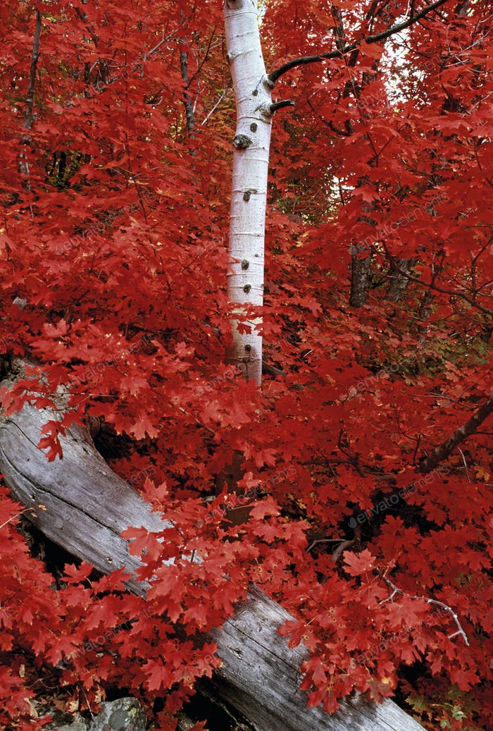 Rocky mountain maple trees and the white bark of aspens in the Wasatch National forest.