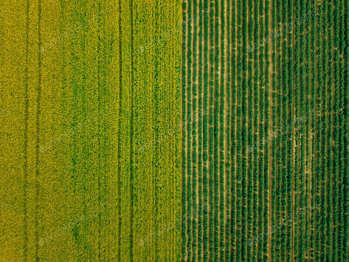 Aerial view of Rows of potato and rapeseed field. Yellow and green agricultural fields in Finland.