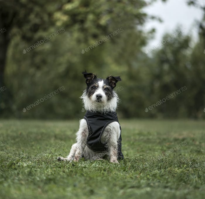 Jack Russell Terrier, 3 years old, in park