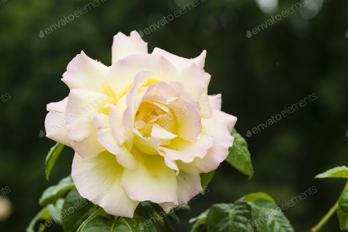 Ornamental rose