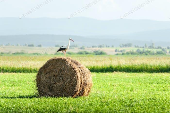 Stork on dry hay bale