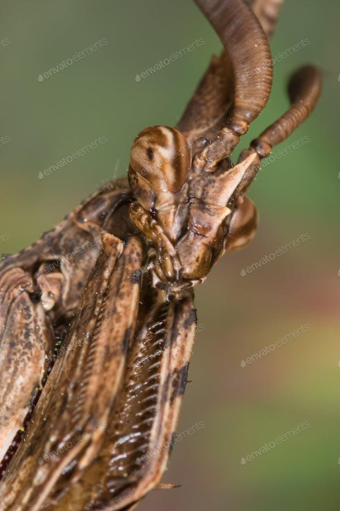 Mantis (Empusa pennata) -  Mantis (Empusa pennata)