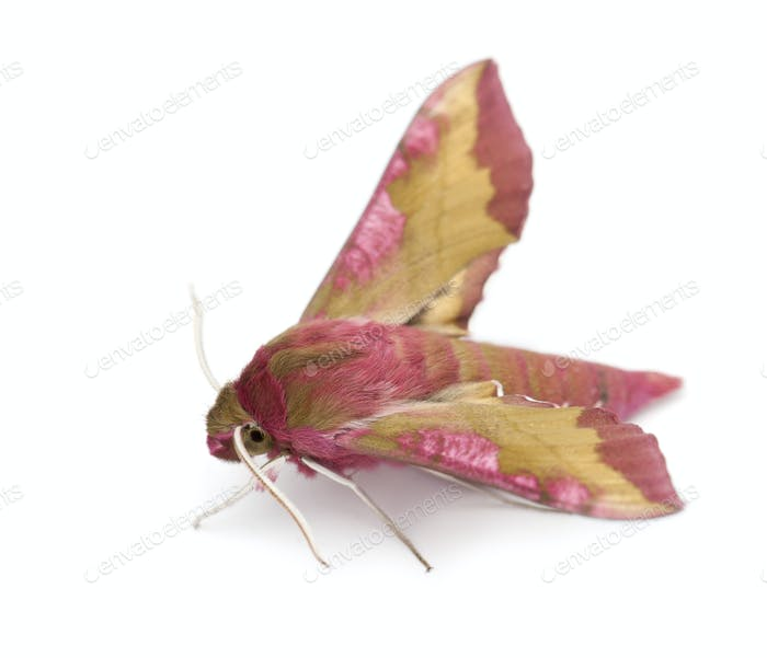 Elephant Hawk, moth, Deilephila elpenor, against white background