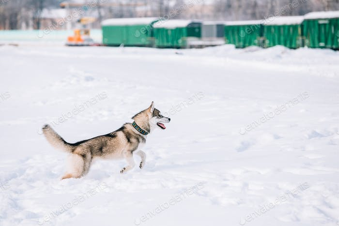 Young Husky Dog Play, Run Outdoor In Snow, Winter