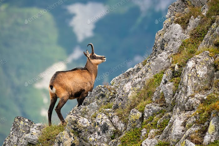 Vital tatra chamois climbing rocky hillside in mountains