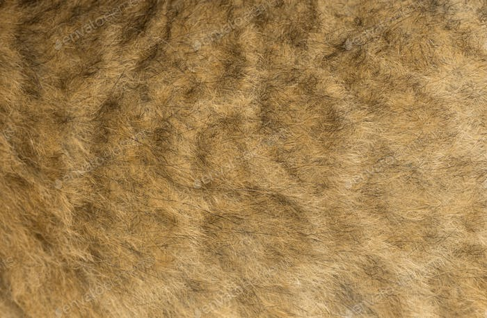 Macro of a Lion cub's fur, 16 days old