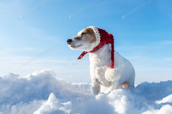 White jack russel terrier puppy in stylish red santa hat