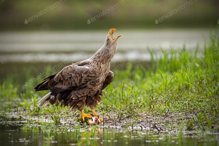 Adult white-tailed eagle, haliaeetus albicilla, in summer screaming