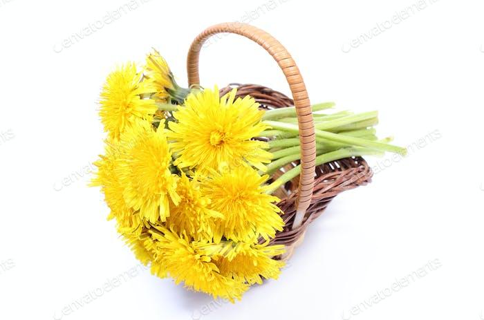Gelbe Blüten von Löwenzahn in Weidenkorb