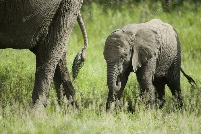 Baby Elefant und seine Mutter