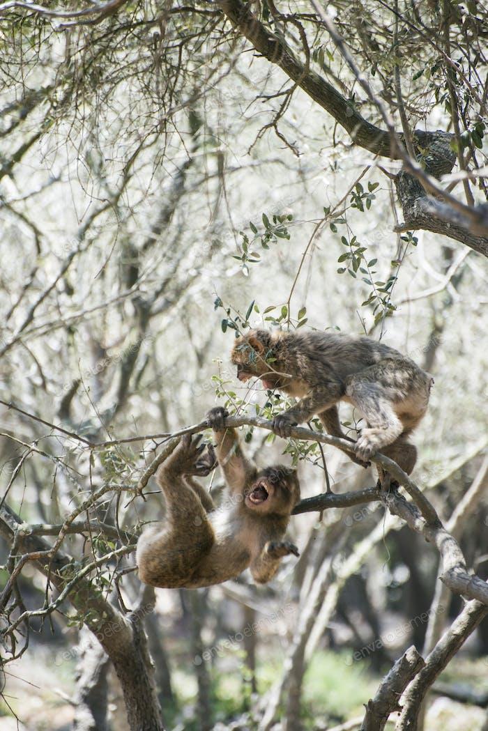 Pelea de monos