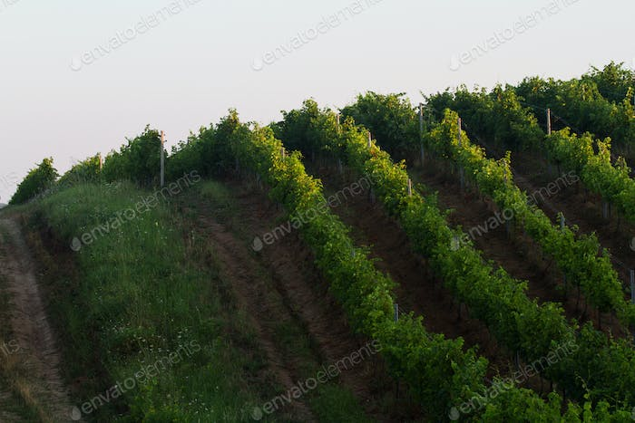 green vineyard rows in the morning light