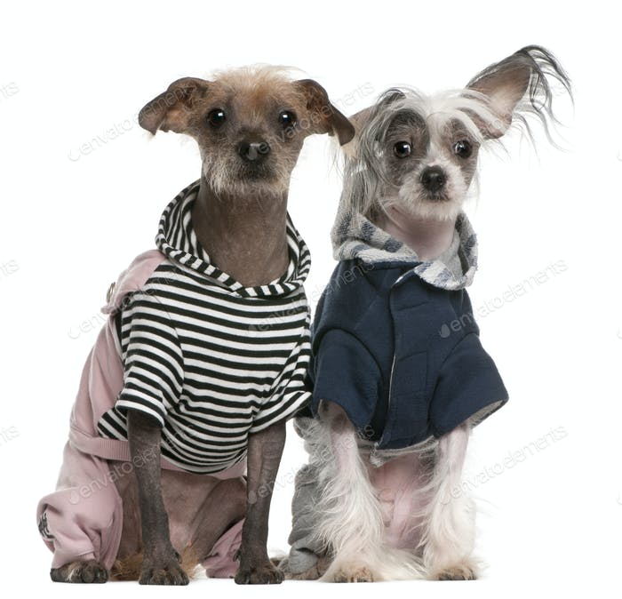 Peruvian Hairless Dog (2 years old), Peruvian Hairless Dog (1 year old)