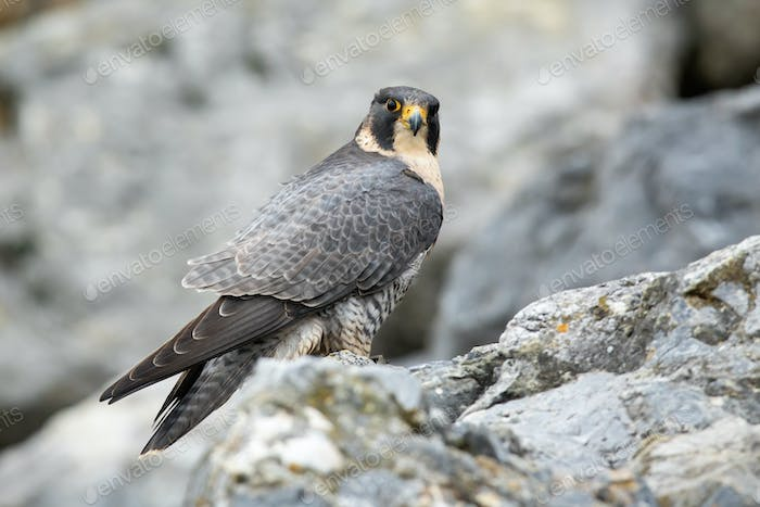 Adult peregrine falcon sitting on mountains in fall