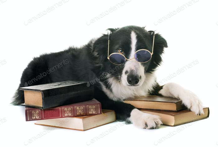 border collie in school