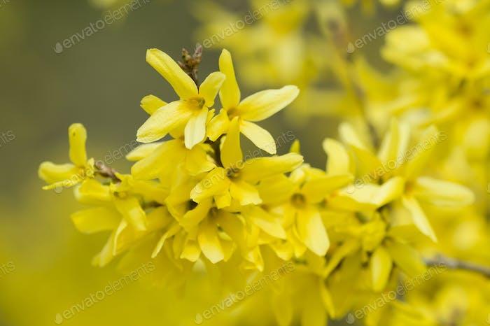 Forsythia gelbe Blüten