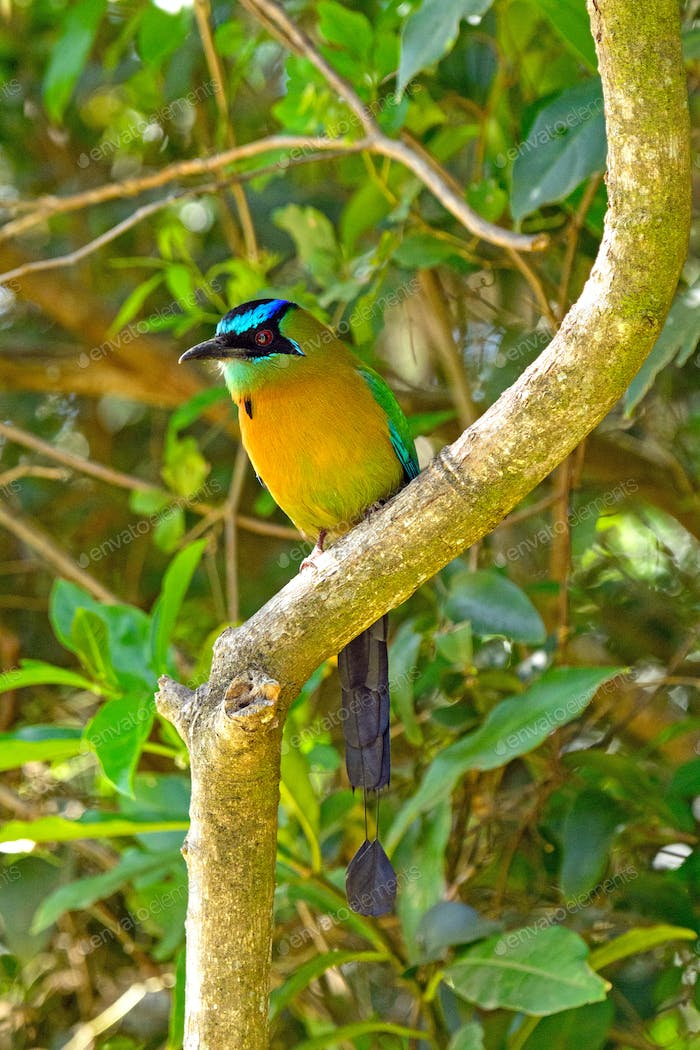 Blue Crowned Motmot in a tree
