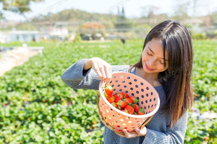 Woman picking fruit on organic strawberry farm inside a basket