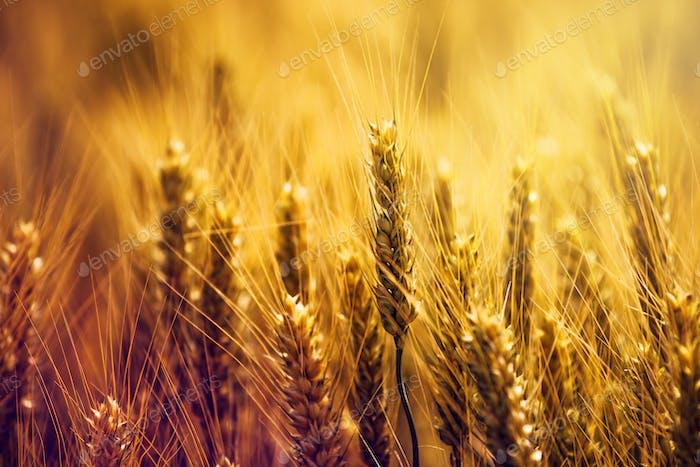 Golden wheat ears in field