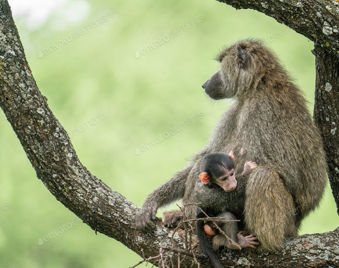 Olive baboon with young  found in Tanzania and kenya