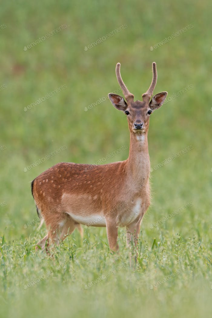 Young fallow deer, dama dama, stag with antlers growing in velvet in summer
