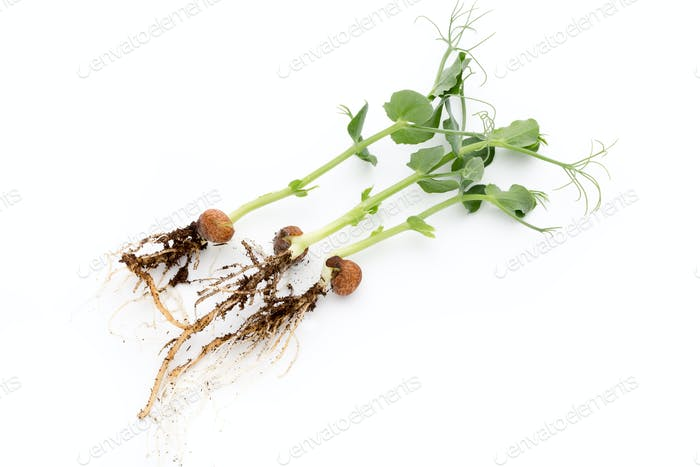 Organic pea sprouts in white backround.