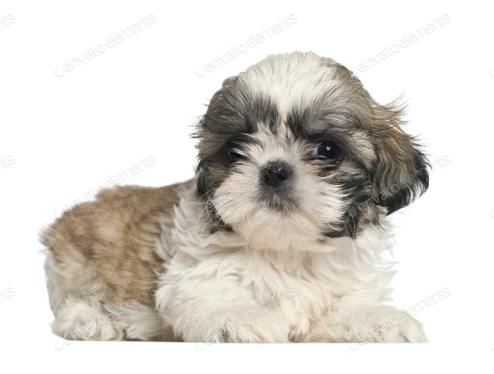 Shih Tzu puppy, 2 months old, lying against white background