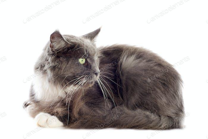 blaue Maine Coon Katze