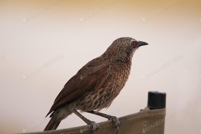 Arrow marked babble bird