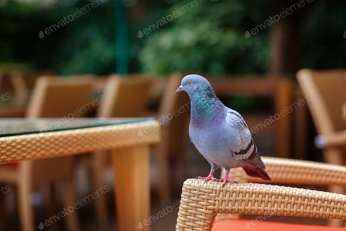 A pigeon sits on a wicker chair in a cafe on the street. Street photos