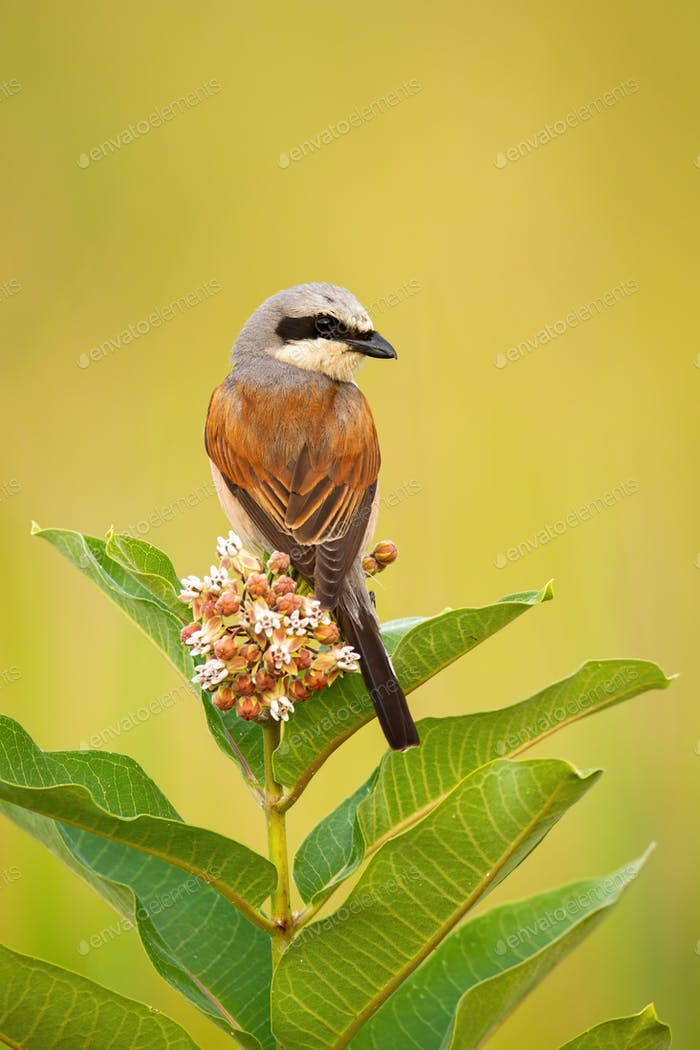 Red-backed shrike sitting on a flower of blooming tree and looking behind