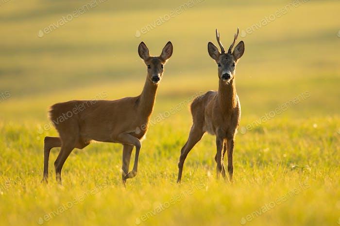 Two roe deers standing on glade in summer in backlit