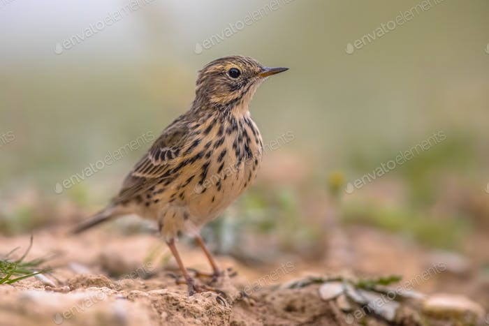 Meadow pipit on bright background