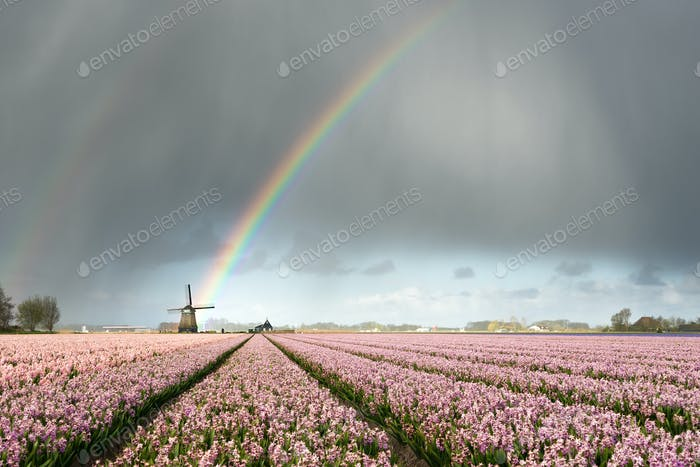 Rainbow and clouds over windmill and hyacinth flowers