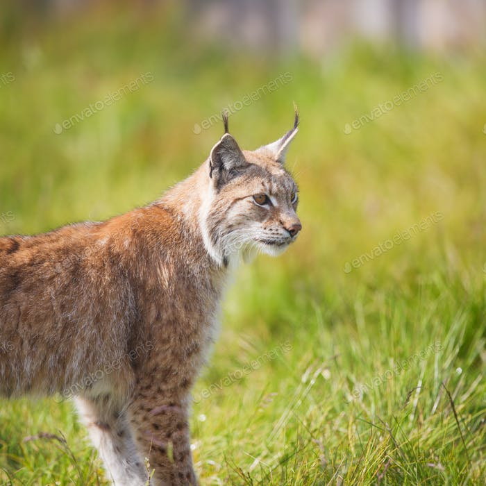 Lynx in the grass