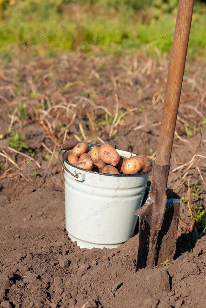 Freshly picked potato tubers in the bucket at field with spade aside sunny day