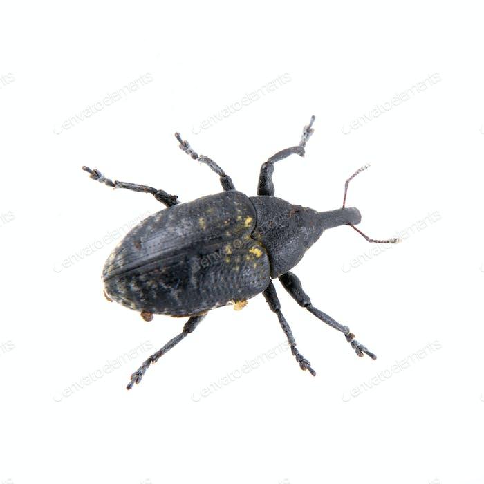 Bug negro con puntos amarillos sobre Fondo blanco