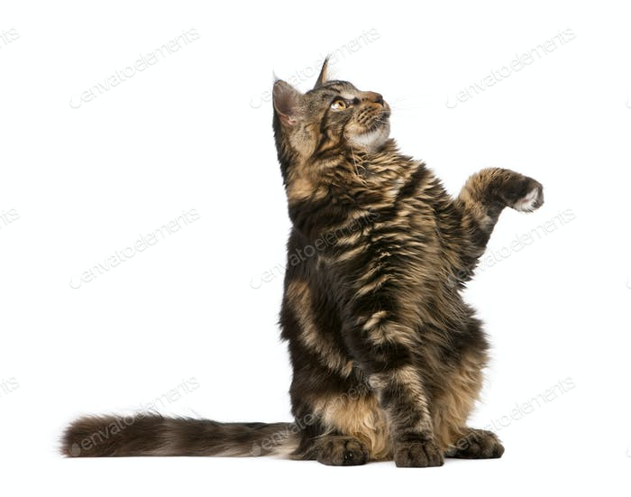 Maine Coon looking up with paw in air, 7 months old, in front of white background