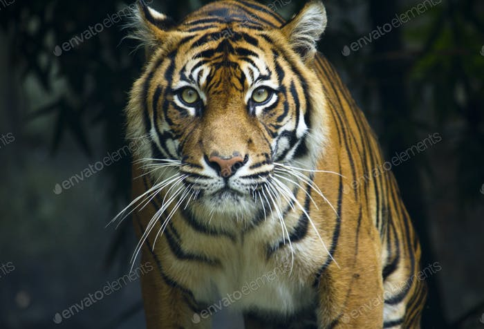Prowling tiger looking down lens