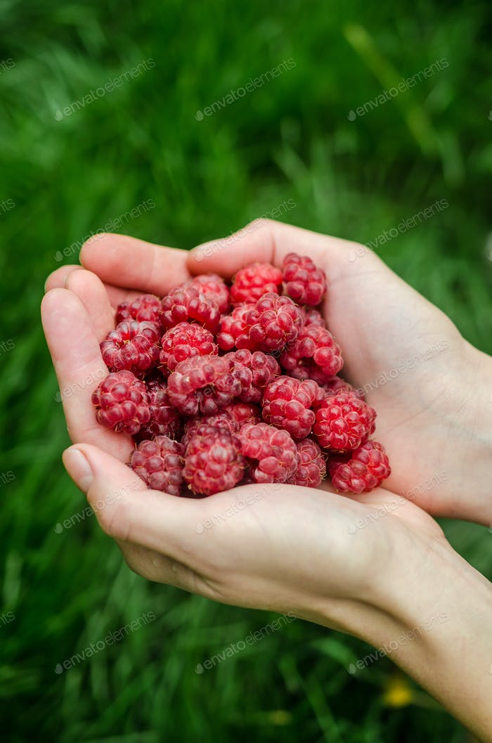 Hands holding raspberries