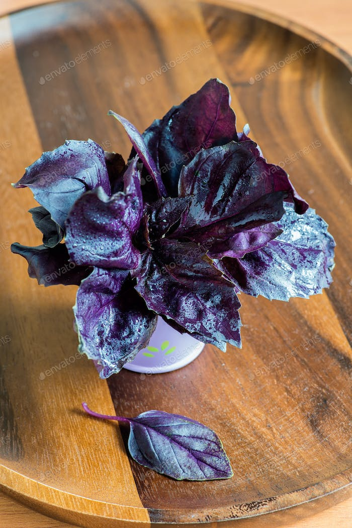 Purple basil in in a decorative bucket