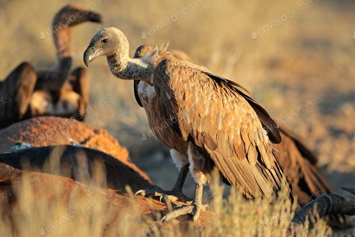 Scavenging white-backed vultures