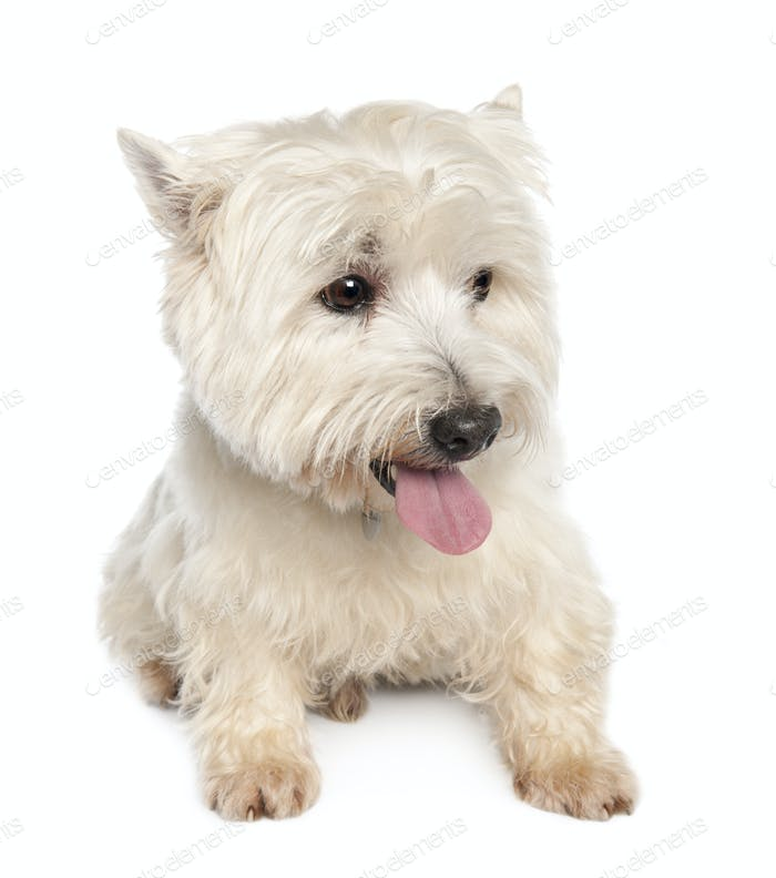 West Highland White Terrier (10 years)
