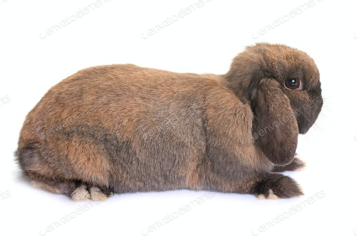 Dwarf lop-eared rabbit