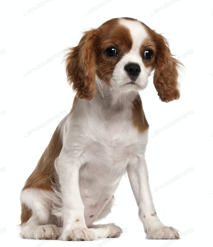 Cavalier King Charles Spaniel puppy, 3 months old, sitting in front of white background