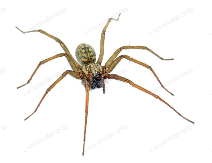 A Large Spider