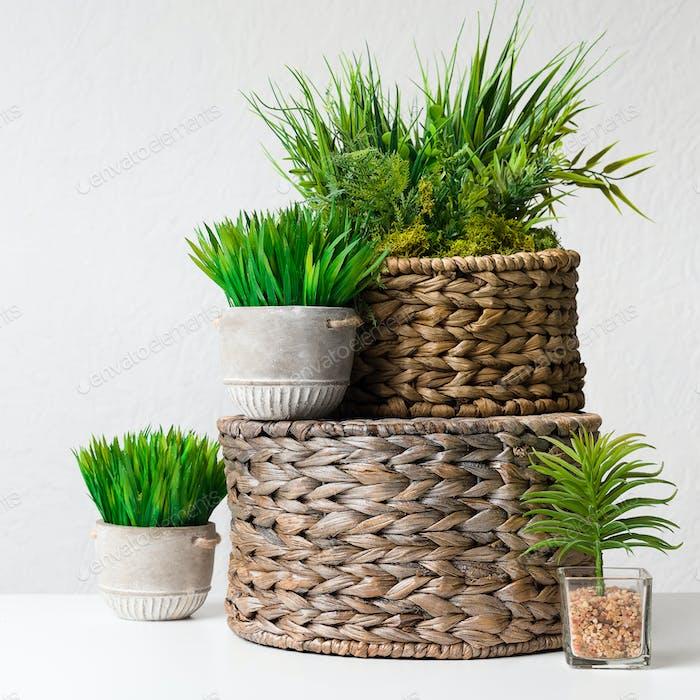 Evergreen plants in pots on wicker boxes