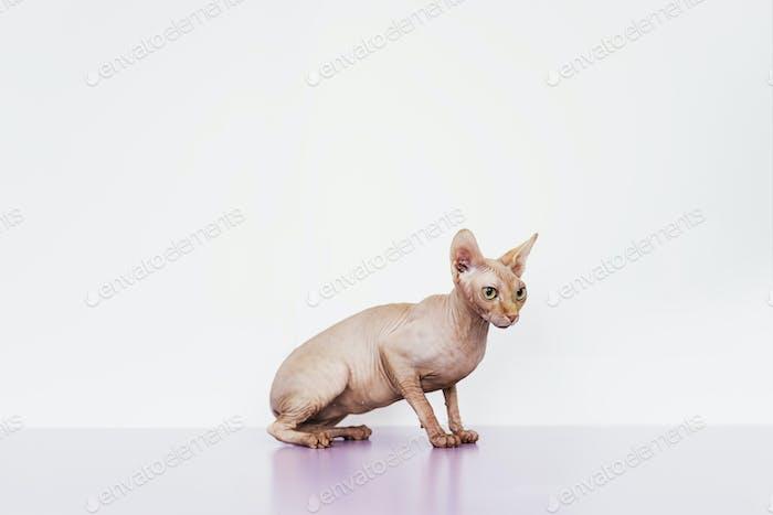 Porträt von schönen Sphynx Katze.