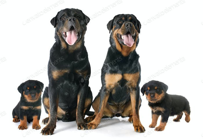 rottweilers family in studio