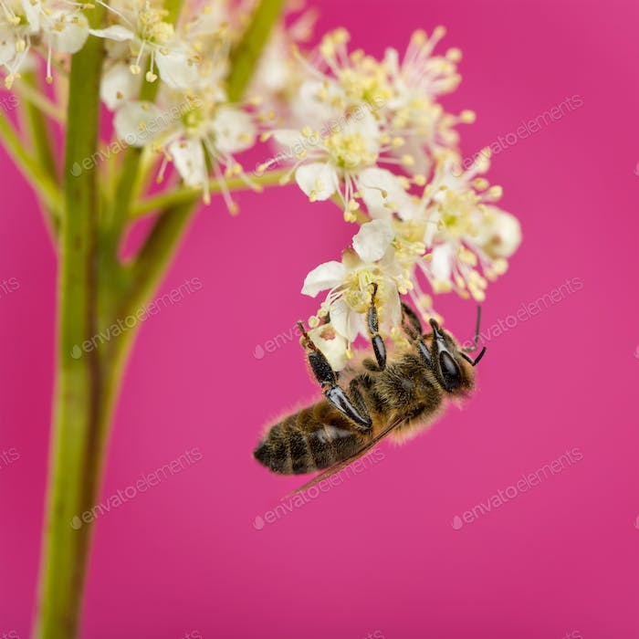 Honey bee foraging in front of a pink background